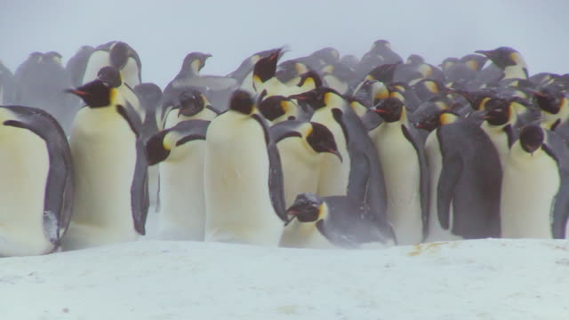 ms shot of emperor penguin massed huddle with penguins actively breaking up on ground in blizzard / dumon d urville station, adleie land, antarctica - 吹雪点の映像素材/bロール