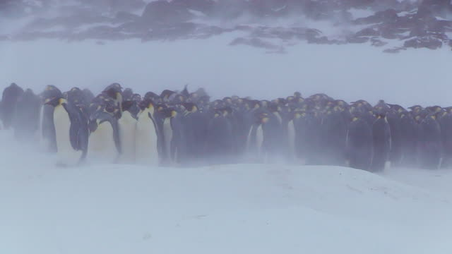 ms shot of emperor penguin massed huddle with penguins actively breaking up on ground in blizzard / dumon d urville station, adleie land, antarctica - emperor penguin stock videos & royalty-free footage