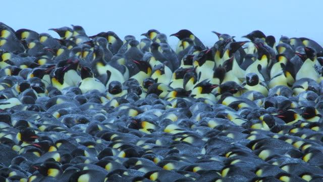 """ms shot of emperor penguin massed huddle with penguins standing / dumont d urville station, adelie land, antarctica "" - 多数の動物点の映像素材/bロール"