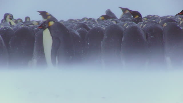 ms shot of emperor penguin massed huddle with penguins walking past in foreground in blizzard / dumon d urville station, adleie land, antarctica - emperor penguin stock videos & royalty-free footage