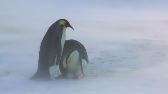 ms shot of emperor penguin pair in blizzard handover egg / dumont d'urville station, adelie land, antarctica - 雪が降る点の映像素材/bロール