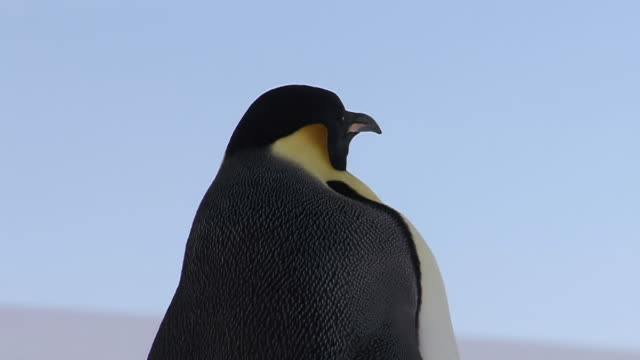ms pan tu td shot of emperor penguin (aptenodytes forsteri) walking away / snow hill, antarctica - foraging stock videos & royalty-free footage