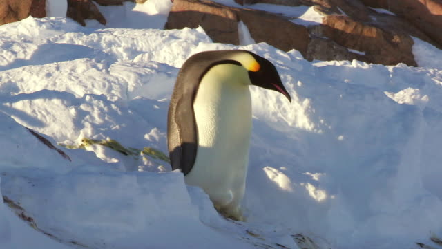 "stockvideo's en b-roll-footage met ""ms ts shot of emperor penguin walking down steep snowbank and falling over / dumont d'urville station, adelie land, antarctica"" - dier"