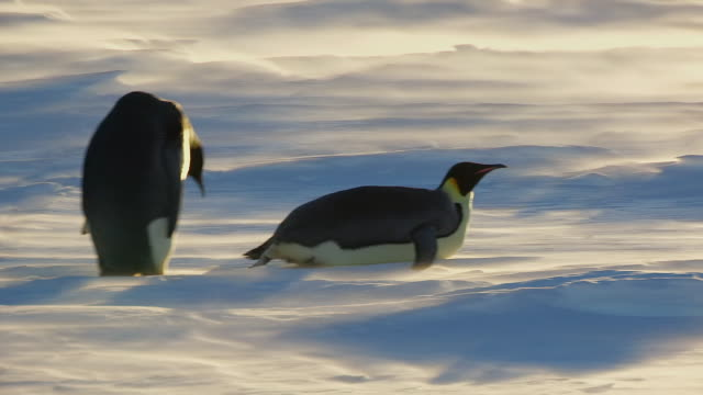 ms ts shot of emperor penguins walking and tobogganing across snowfield in blizzard backlit / dumon d urville station, adleie land, antarctica - sliding stock videos & royalty-free footage