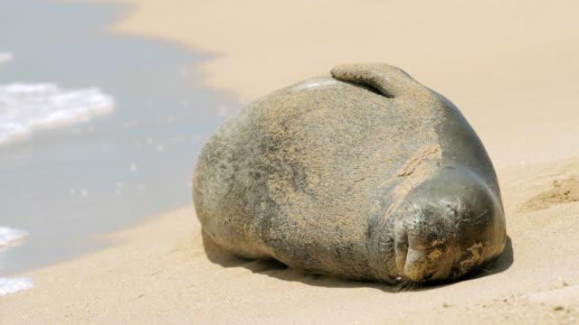cu shot of endangered hawaiian monk seal sun bathing on beach / poipu, kauai, kauai, hawaii, united states - seal animal stock videos & royalty-free footage