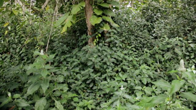 CU TU Shot of Epiphyte vine plants climbing tree in rain forest / Kapaa, Kauai, Hawaii, United States