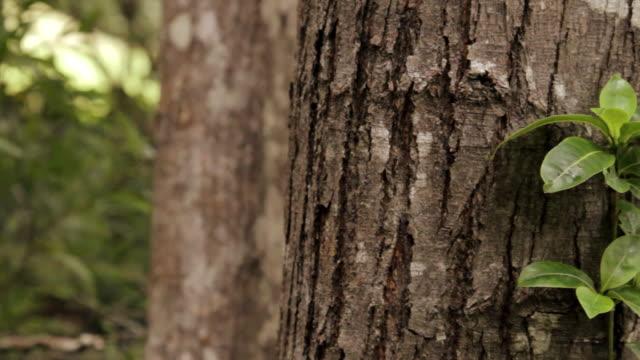 CU PAN Shot of epiphyte, vine plants climbing tree in rain forest / Koke'e State Park, Kauai, Hawaii, United States