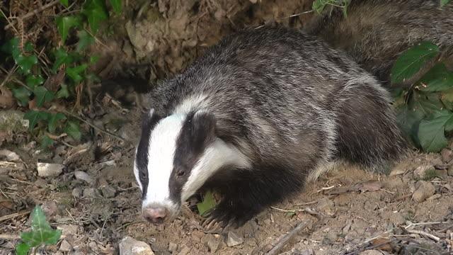 vidéos et rushes de cu shot of european badger (meles meles) looking around at den entrance / normandy, calvados, france - normandie