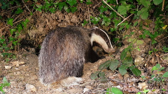 ms shot of european badger, meles digging den / normandy, france - creazione animale video stock e b–roll