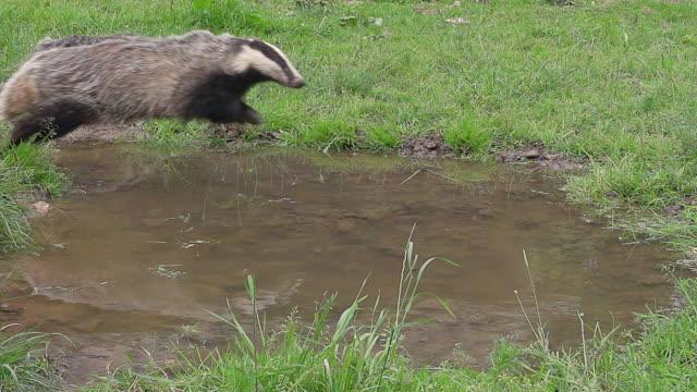 ms slo mo shot of european badger, meles meles, adult running through water, normandy/ calvados, normandy, france - calvados stock-videos und b-roll-filmmaterial