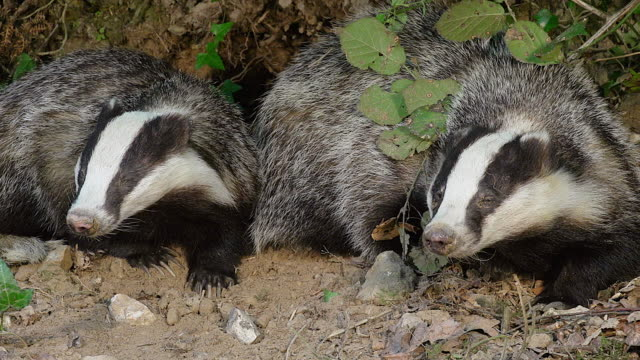 cu ts shot of european badger, meles meles, pair, normandy / calvados, normandy, france - calvados stock videos and b-roll footage