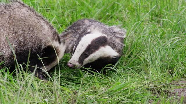 cu ts shot of european badger, meles meles, pair walking on grass, normandy / calvados, normandy, france - calvados stock videos and b-roll footage