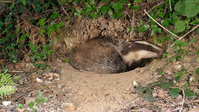ms shot of european badger, meles meles standing at den entrance / normandy, france - creazione animale video stock e b–roll