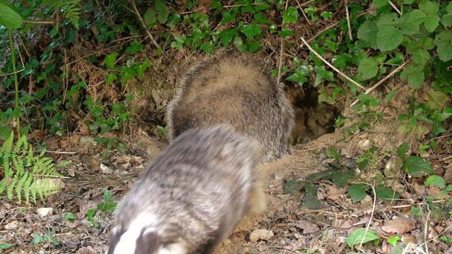MS Shot of European Badger standing and digging / Calvados, Normandy, France
