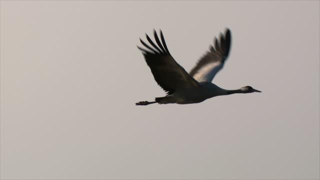 ms ts slo mo shot of european crane flying in early morning light / hula valley, galilee, israel - eurasischer kranich stock-videos und b-roll-filmmaterial