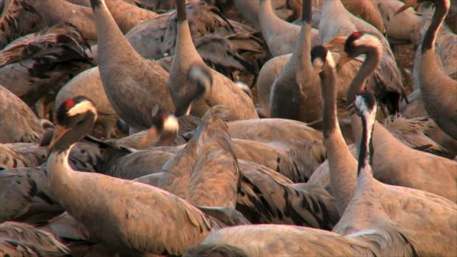 ms shot of european cranes feeding in field amongst flock / hula valley, upper galilee,  israel - eurasischer kranich stock-videos und b-roll-filmmaterial
