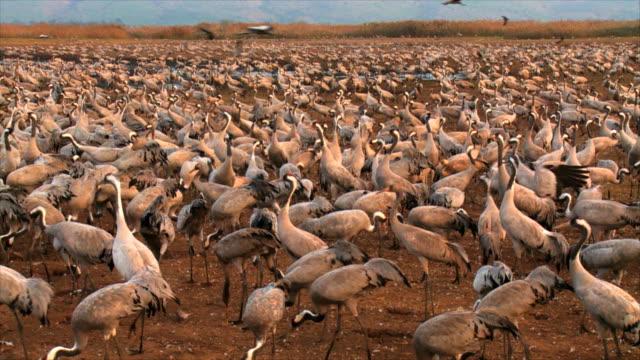 ms pan shot of european cranes feeding in field amongst flock / hula valley, upper galilee,  israel - large group of animals stock-videos und b-roll-filmmaterial