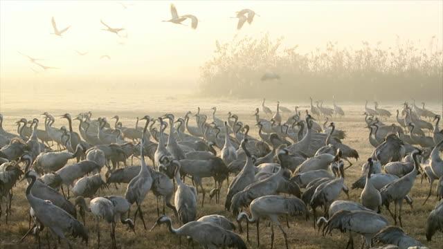 ws pan slo mo shot of european cranes feeding in field amongst flock / hula valley, galilee, israel - flock of birds stock videos & royalty-free footage