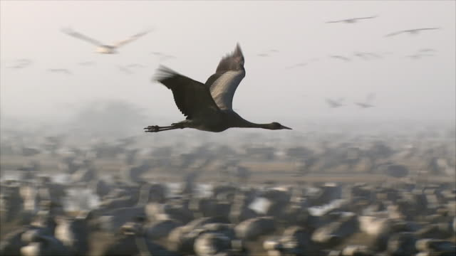 ms ts slo mo shot of european cranes flying in early morning light / hula valley, galilee, israel - flock of birds stock videos & royalty-free footage