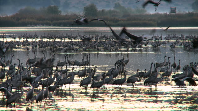 ms shot of european cranes standing in water and taking off in early morning light / hula valley, upper galilee, israel / hula valley, upper galilee, israel - flock of birds stock videos & royalty-free footage