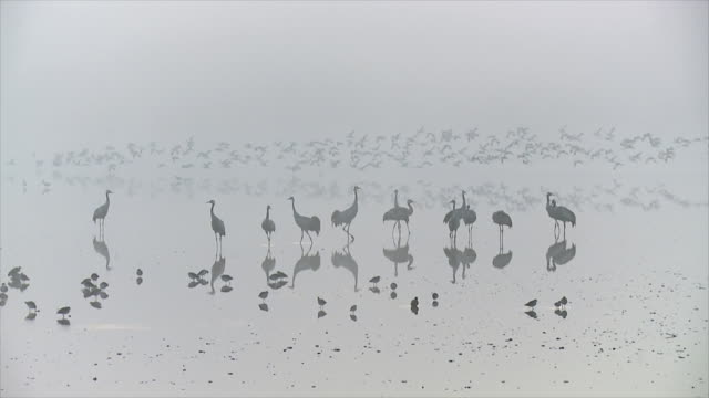 ws slo mo shot of european cranes standing in water in foggy morning light with flocks of waders / hula valley, galilee, israel  - flock of birds stock videos & royalty-free footage