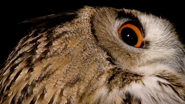 ecu shot of european eagle owl, asio otus, eyes / calvados, normandy, france  - calvados stock videos and b-roll footage