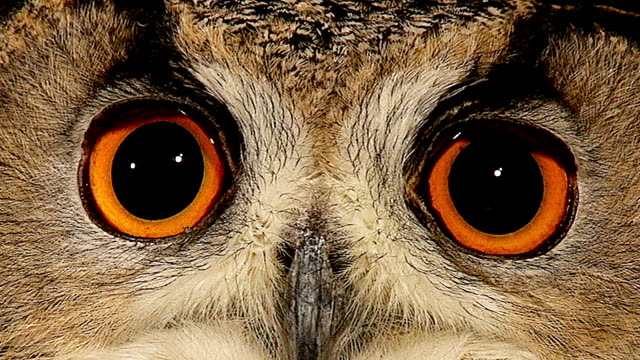 vídeos de stock e filmes b-roll de ecu shot of european eagle owl close up of eyes / calvados, normandy, france - olho de animal