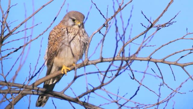 cu la shot of european kestrel (falco tinnunculus) perching on tree / hula valley, galilee, israel - perching stock videos & royalty-free footage