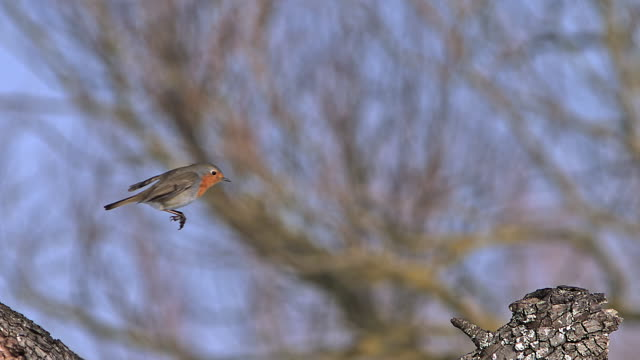 ms slo mo shot of european robin (erithacus rubecula) adult in flight and landing on branch of tree / vieux pont, normandy, france - thrush stock videos & royalty-free footage