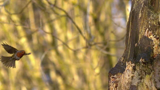 MS SLO MO Shot of European robin landing on tree trunk / Vieux Pont en Auge, Normandy, France