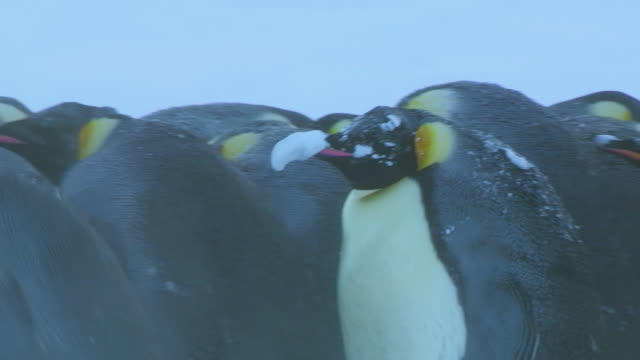 ms pan shot of face of emperor penguin with snow on beak as it walks past massed huddle in blizzard / dumon d urville station, adleie land, antarctica - emperor penguin stock videos & royalty-free footage