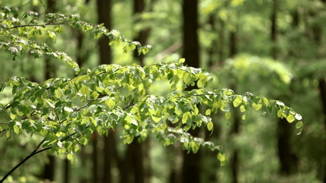 cu shot of fagus sylvatica at sunny beech grove in spring / kastel-staadt, rhineland-palatinate, germany - ast pflanzenbestandteil stock-videos und b-roll-filmmaterial