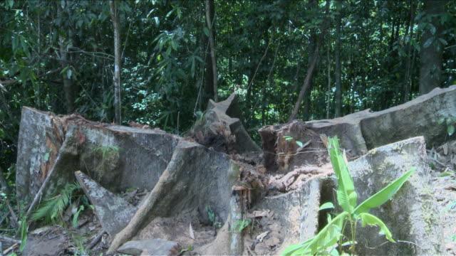 stockvideo's en b-roll-footage met ms pan shot of fallen tree stump / kota marudu, sabah, malaysia   - boomstronk