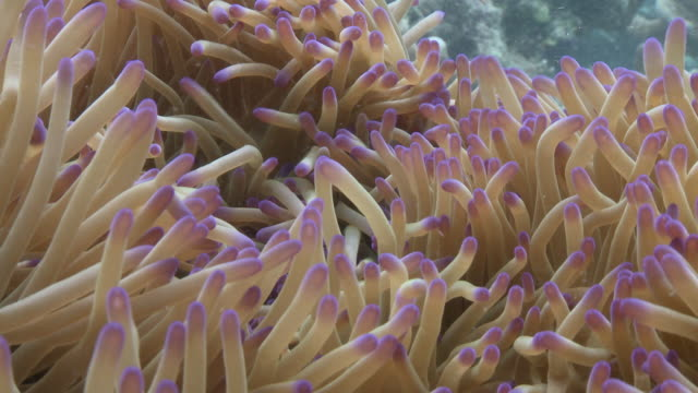 ms shot of false anemone clownfish in anemone / sipadan, sabah, malaysia  - sea anemone stock videos & royalty-free footage