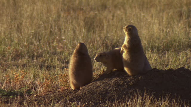 MS Shot of family of prairie dogs with soft sunlight stand on mound around tunnel hole / Fort Collins, Colorado, United States