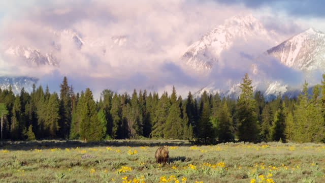ws  4k  shot of famous grizzly bear 793's cubs (ursus arctos) as they walk in a flower filled meadow at sunrise with the tetons in the background - wyoming stock videos & royalty-free footage