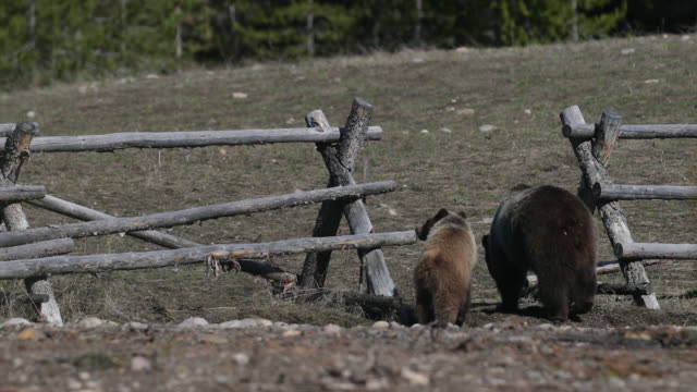 WS  4K  shot of famous grizzly bear #399 and cubs (Ursus arctos) walking through a buck rail fence