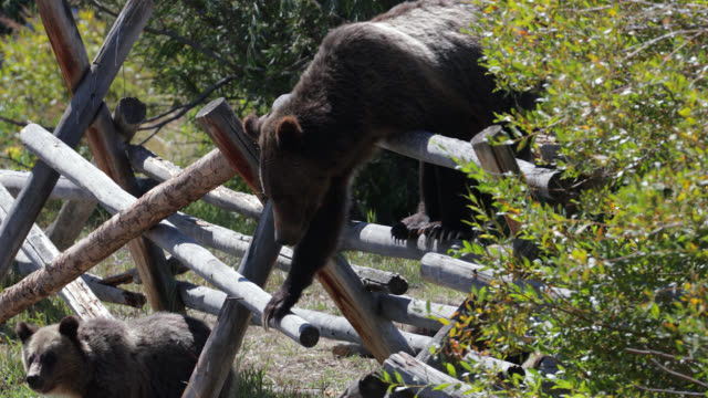 ms  4k  shot of famous grizzly bear #399 and her 4 coy/cubs (ursus arctos) as they cross a buckrail fence in search of more berries - grand teton national park stock videos & royalty-free footage