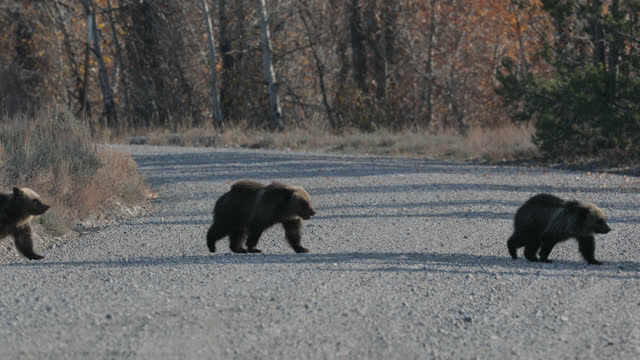 ms  4k  shot of famous grizzly bear #399 and her 4 coy/cubs (ursus arctos) as they cross pilgrim creek road - grand teton national park stock videos & royalty-free footage