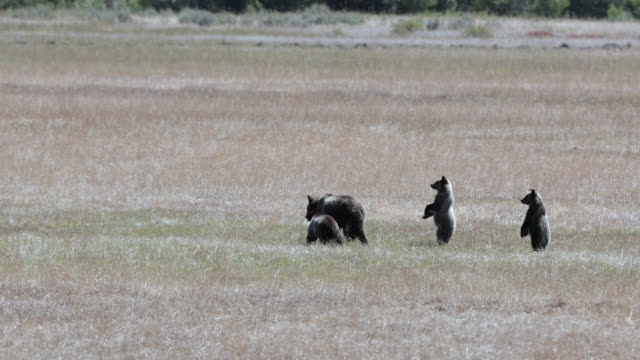 ws  4k  shot of famous grizzly bear #399 and her 4 coy/cubs (ursus arctos) as they run through a grass pasture in search of more berries - grand teton national park stock videos & royalty-free footage