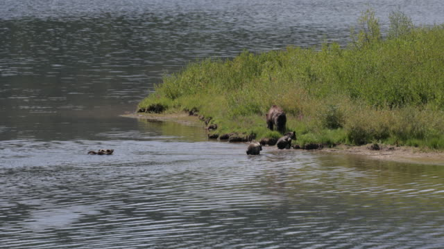 ws  4k  shot of famous grizzly bear #399 and her 4 coy/cubs (ursus arctos) as they swim across oxbow bend/snake river - raubtier stock-videos und b-roll-filmmaterial