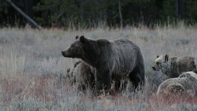 ms  4k  shot of famous grizzly bear #399 and her 4 coy/cubs (ursus arctos) as they travel in their constant search for food - grand teton national park stock videos & royalty-free footage