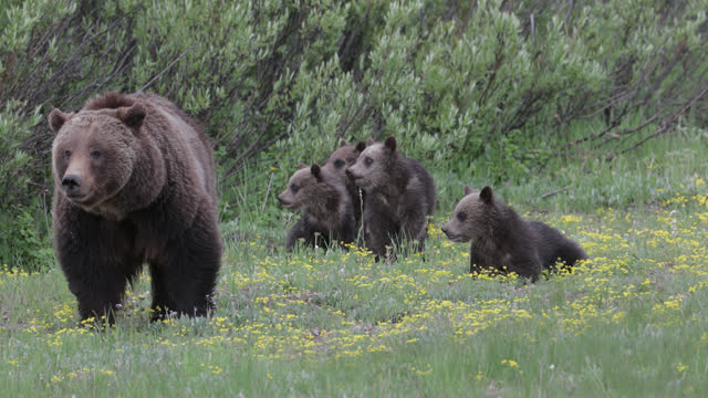 ms  4k  shot of famous grizzly bear #399 and her 4 coy/cubs (ursus arctos) as they travel in their constant search for food - animal family stock videos & royalty-free footage