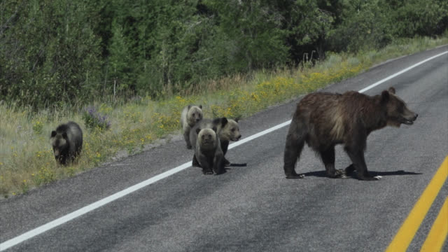 ms  4k  shot of famous grizzly bear #399 and her 4 coy/cubs (ursus arctos) as they walk across a busy highway in front of my truck - road stock videos & royalty-free footage