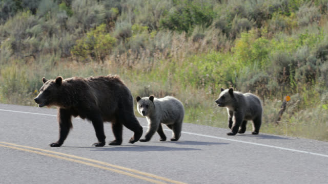 ms  4k  shot of famous grizzly bear #399 and her 4 coy/cubs (ursus arctos) as they walk across a busy highway in front of my truck - wyoming stock videos & royalty-free footage