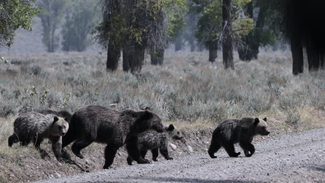 ms  4k  shot of famous grizzly bear #399 and her 4 coy/cubs (ursus arctos) as they walk across a jeep trail in front of my truck - grand teton national park stock videos & royalty-free footage