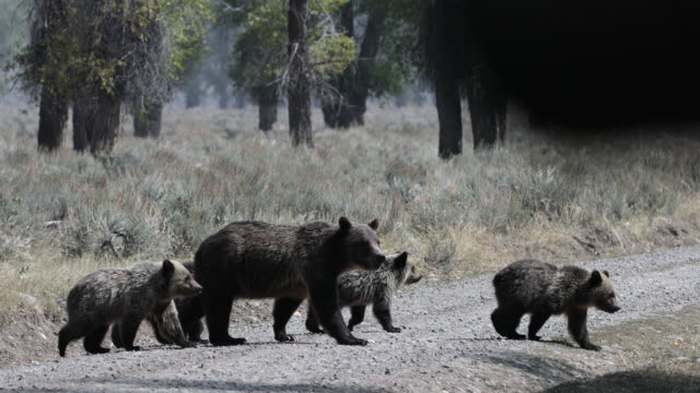 ms  4k  shot of famous grizzly bear #399 and her 4 coy/cubs (ursus arctos) as they walk across a jeep trail in front of my truck - wyoming stock videos & royalty-free footage