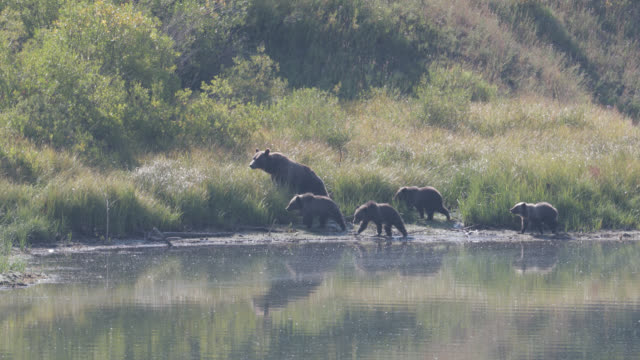 ws  4k  shot of famous grizzly bear #399 and her 4 coy/cubs (ursus arctos) as they walk along the shore of oxbow bend/snake river - grand teton national park stock videos & royalty-free footage