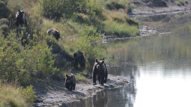 ws  4k  shot of famous grizzly bear #399 and her 4 coy/cubs (ursus arctos) as they walk along the shore of oxbow bend/snake river - animal family stock videos & royalty-free footage