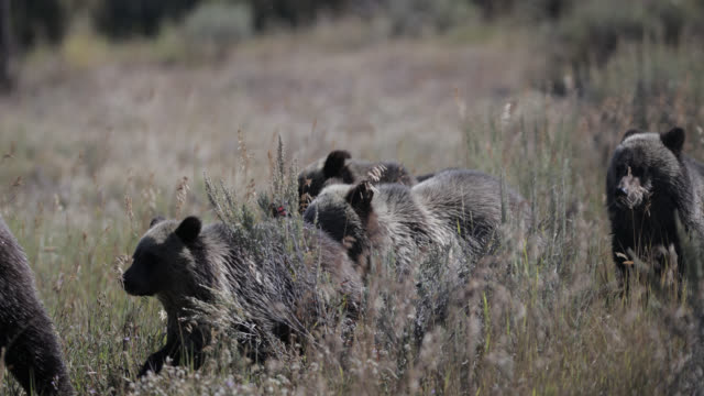 ms  4k  shot of famous grizzly bear #399 and her 4 coy/cubs (ursus arctos) as they walk in search of more berries - grand teton national park stock videos & royalty-free footage